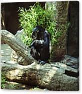 The Lone Chimp Canvas Print