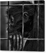 The Look Of Captivity Black And White Canvas Print