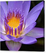 The Lotus Flower - Tropical Flowers Of Hawaii - Nymphaea Stellata Canvas Print