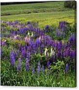 The Lupine Field Canvas Print