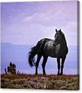 The Majestic Stallion Canvas Print