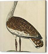 The Male Bustard Canvas Print