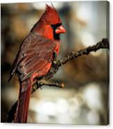 The Male Northern Cardinal Canvas Print