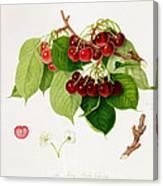 The May Duke Cherry Canvas Print