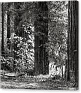 The Mighty Redwood Canvas Print