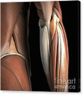 The Muscles Of The Elbow Rear Canvas Print