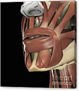 The Muscles Of The Mouth Canvas Print