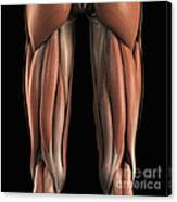 The Muscles Of The Upper Legs Rear Canvas Print