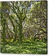 The Mysterious Forest - The Magical Trees Of The Los Osos Oak Reserve. Canvas Print