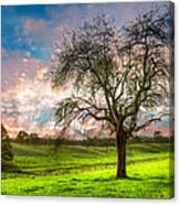 The Old Apple Tree At Dawn Canvas Print