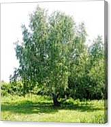 The Old Birch Tree Canvas Print