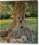 The Olive Tree Of Wisdom Canvas Print