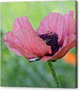The One And Only Pink Poppy Canvas Print