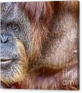 The Orangutan Album  Canvas Print