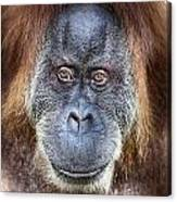 The Orangutan Album V4 Canvas Print