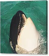 The Original Shamu Orca Whale At Sea World San Diego California 1967 Canvas Print