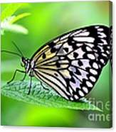 The Paper Kite Or Rice Paper Or Large Tree Nymph Butterfly Also Known As Idea Leuconoe 2 Canvas Print