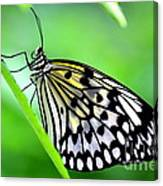 The Paper Kite Or Rice Paper Or Large Tree Nymph Butterfly Also Known As Idea Leuconoe Canvas Print