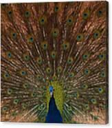 The Peacock 2 Canvas Print