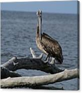 The Pelican Pose Canvas Print