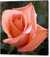The Perfect Coral Rose Canvas Print