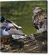 The Perfect Mallard Couple Canvas Print