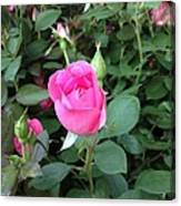 The Perfect Pink Rose 2 Canvas Print