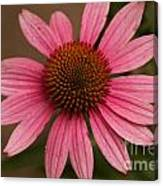 The Pink Daisy Canvas Print