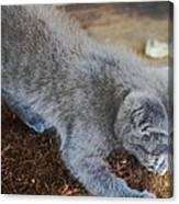 The Playful Kitten Canvas Print