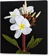 The Plumeria Canvas Print