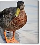 The Posing Duck Canvas Print