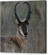 The Pronghorn 2 Dry Brushed Canvas Print