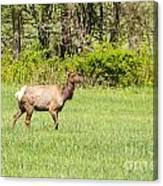 The Proud Elk Canvas Print
