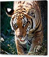 Prowling Tiger Canvas Print