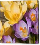 The Purple And Yellow Crocus Flowers Canvas Print