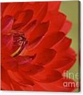 The Red Sun Dahlia Canvas Print