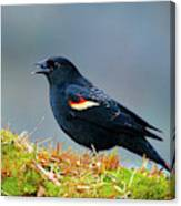 The Red-winged Blackbird (agelaius Canvas Print