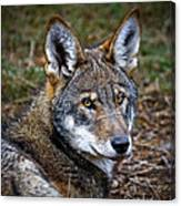 The Red Wolf Canvas Print