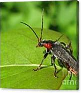 The Rednecked Bug- Close Up Canvas Print