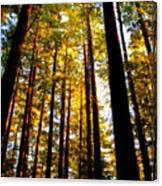 The Redwoods Of Florence Keller Park Canvas Print