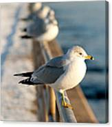 The Ring-billed Gull Canvas Print