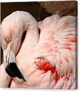 The Shy Flamingo Canvas Print