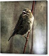 The Singing Sparrow Canvas Print