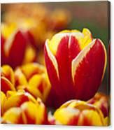 The Single Big Tulip Canvas Print