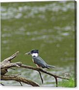 The Southern Kingfisher Side View Canvas Print