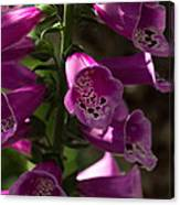 The Splendor Of Foxgloves Canvas Print