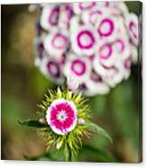 The Star - Beautiful Spring Dianthus Flowers In Bloom. Canvas Print
