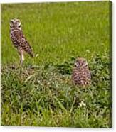 The Stares Of The Burrowing Owls Canvas Print