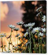 The Sun Sets Over Daisies  Astoria Canvas Print