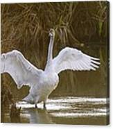 The Swan Spreads Its Wimgs Canvas Print